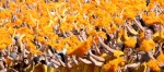 Students wave pompoms and cheer as the MU football team runs onto the field for the 100th Homecoming game.